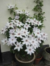 Clematis Pat Coleman in Container